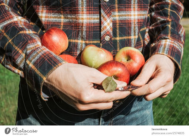 Man holding organic ripe red apples in plaid shirt Tasty Hold Juicy Apple Agriculture Autumn Close-up Cooking Diet Fingers Food Healthy Eating Fresh Fruit