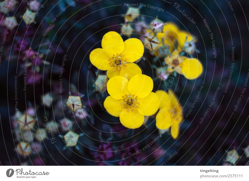 they glow Garden Nature Plant Flower Leaf Blossom Fragrance Delicate Yellow Violet Bud Smooth Colour photo Subdued colour Exterior shot Copy Space left