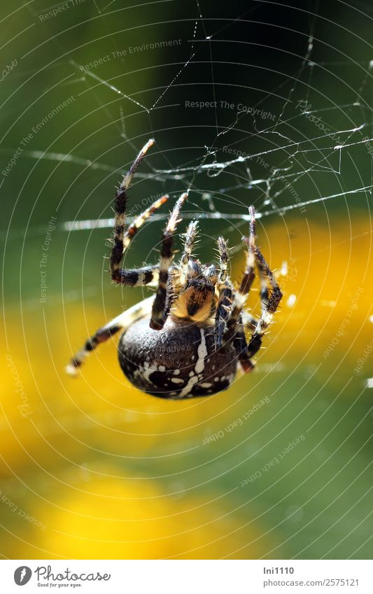 cross spider Nature Animal Sunlight Autumn Beautiful weather Garden Park Field Forest Spider Cross spider 1 Yellow Green Black White Spider's web Spider legs
