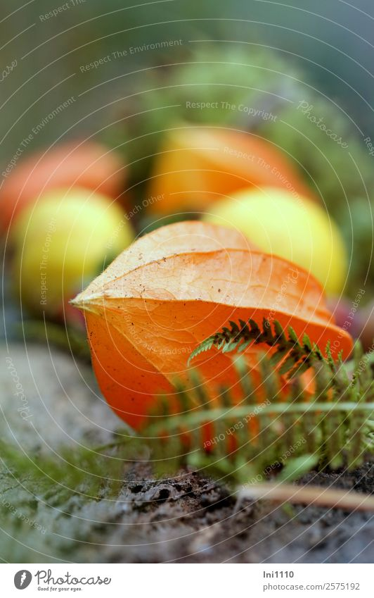 physalis Nature Plant Autumn Blossom Physalis Garden Yellow Gray Green Orange Decoration Autumnal Chinese lantern flower Lampion Flowering plants Fern leaf