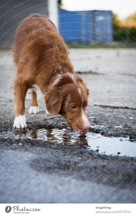 Life makes you thirsty Animal Pet Dog Stone Concrete Drinking Effort Nova Scotia Duck Tolling Retriever Puddle Town Subdued colour Exterior shot