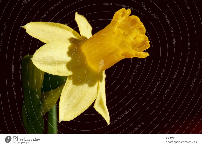 Yellow Spring Blossom Blossoming Narcissus Flower Plant