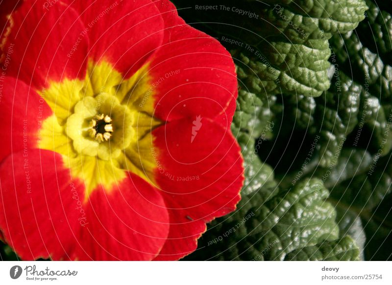 red promise Red Yellow Green Leaf Blossom Spring Primrose Blossoming