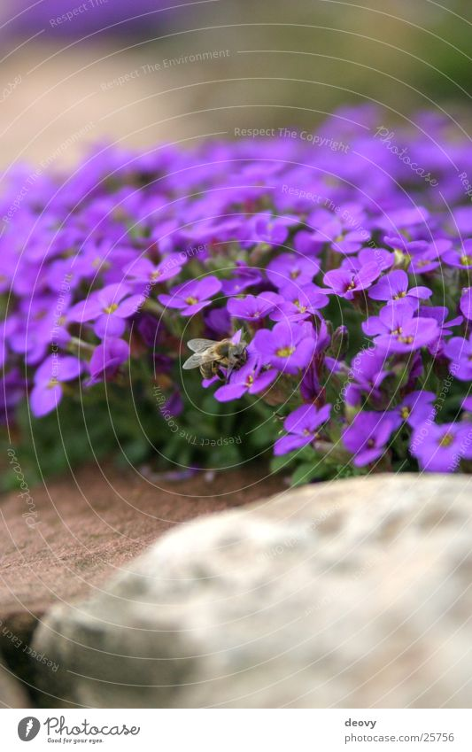 Nature Flower Blue Blossom Garden Stone Wall (barrier) Small Bee Mountain madwort