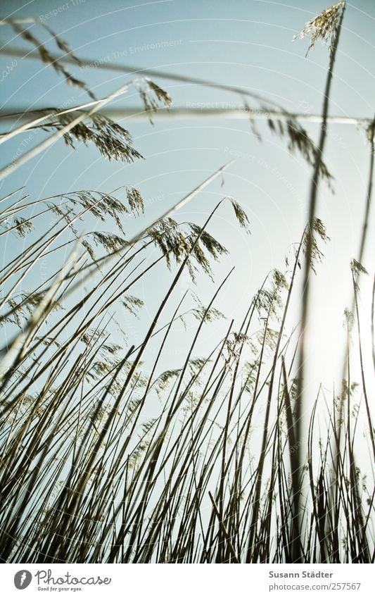 Sky Nature Plant Grass Field Bushes North Sea Thin Common Reed Upward Spiekeroog Cloudless sky Seaweed