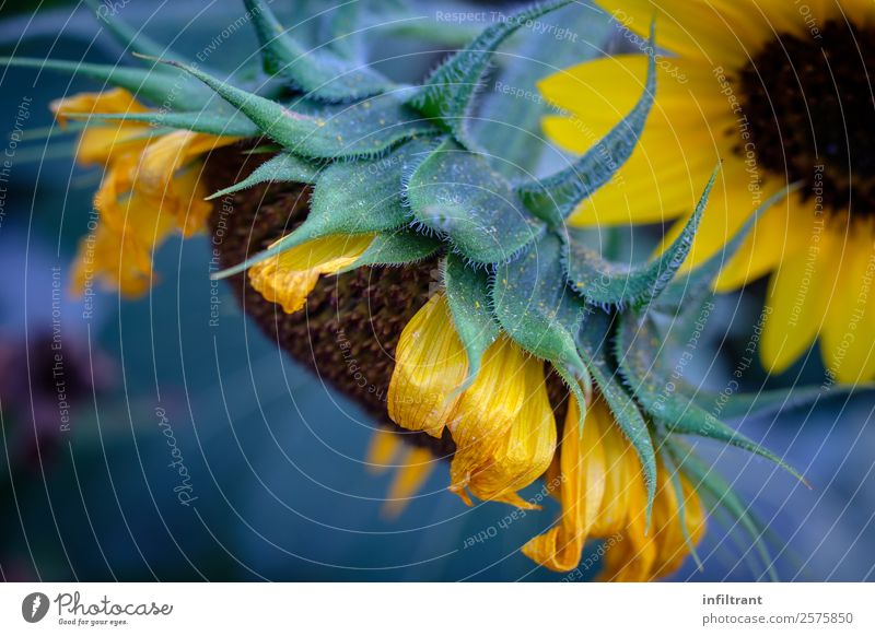 sunflower Plant Flower Blossom Sunflower Natural Yellow Green Calm Life Nature Environment Environmental protection Growth Colour photo Exterior shot Close-up