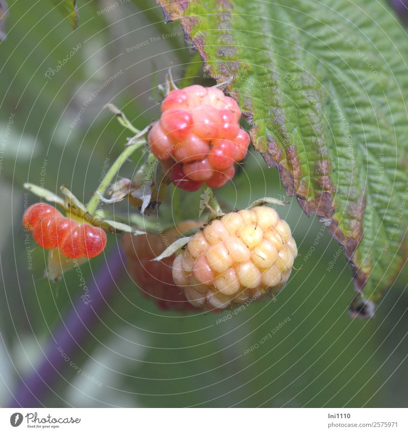 raspberries Nature Plant Autumn Beautiful weather Bushes Leaf Raspberry Garden Blue Brown Gray Green Violet Pink Red Black White Berries Berry bushes Immature