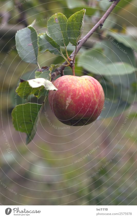 apple Food Fruit Apple Nutrition Organic produce Nature Plant Autumn Tree Leaf Agricultural crop Garden Brown Yellow Gray Green Violet Red White Healthy Eating