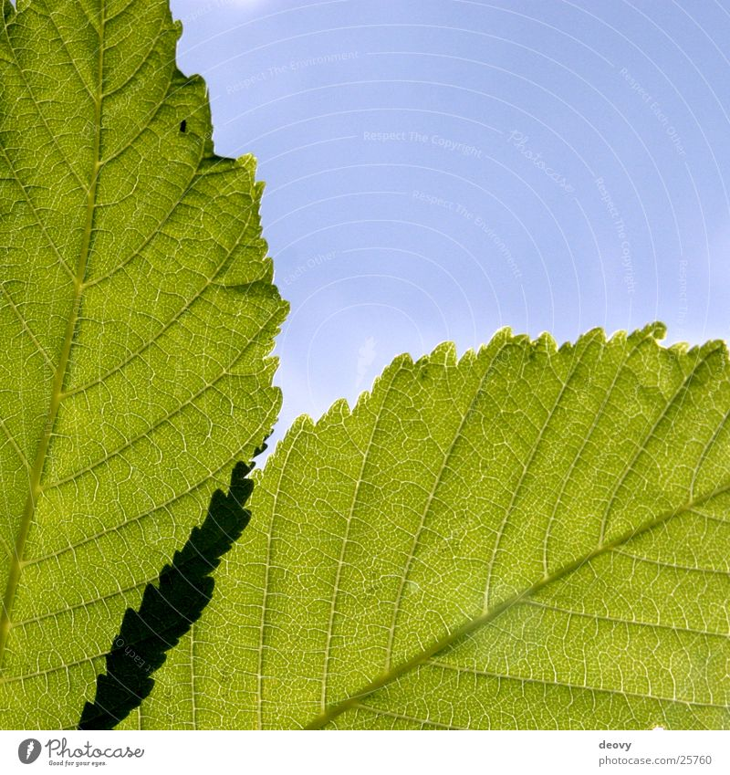 leaf green Green Leaf Tree Light Back-light Blue Sky Chestnut tree