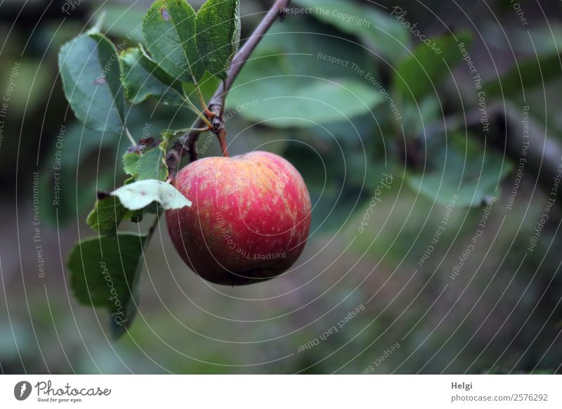 Close up of a ripe red apple hanging from a branch with leaves Food fruit apples Nutrition Organic produce Vegetarian diet Environment Nature Plant Autumn