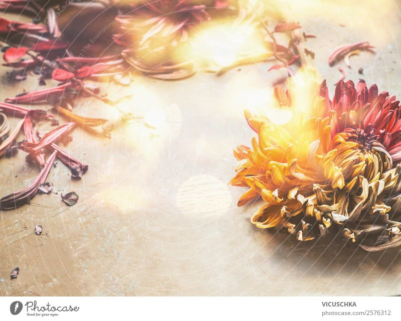 Autumn flowers on the table Style Design Summer Decoration Nature Plant Flower Bouquet Pink Background picture Vintage Still Life Sunbeam Chrysanthemum