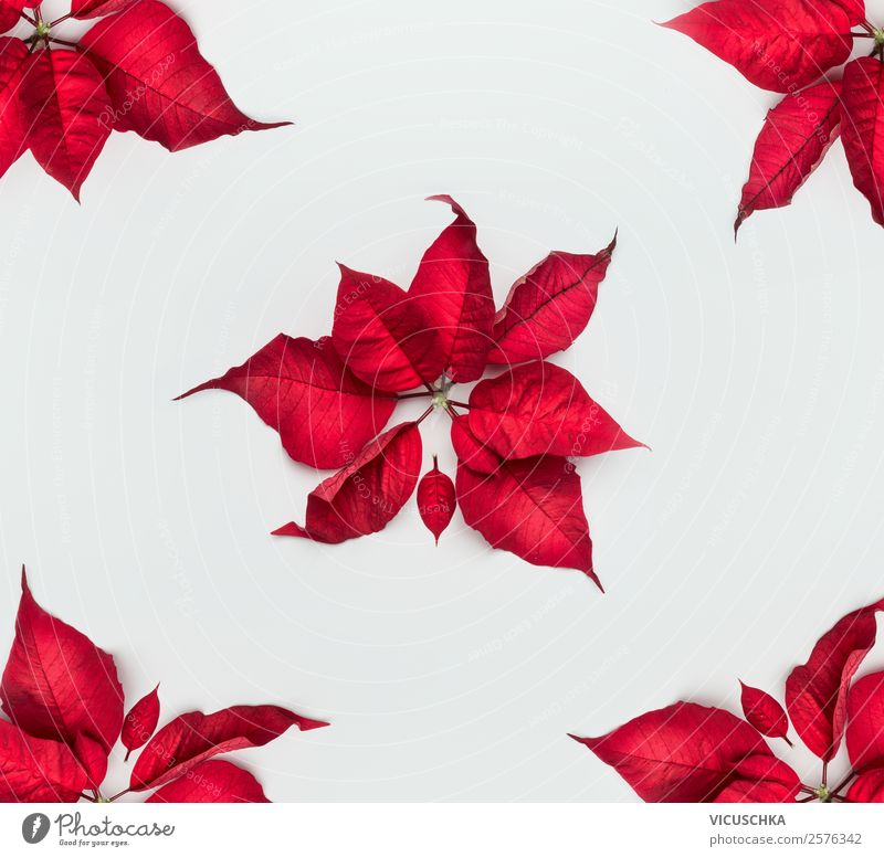 Christmas star or Advent star red leaves on white Shopping Style Design Winter Decoration Feasts & Celebrations Christmas & Advent Nature Plant Leaf Blossom