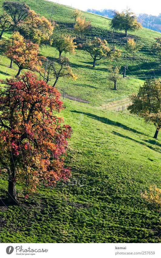 autumn fruit trees Environment Nature Landscape Plant Sunlight Autumn Beautiful weather Tree Grass Leaf Foliage plant Agricultural crop Garden Meadow Hill