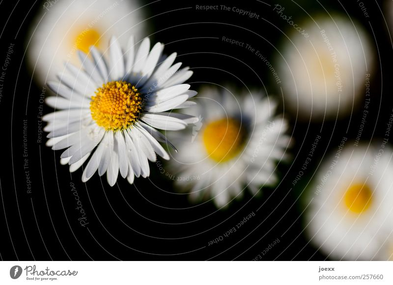 Nature White Plant Summer Flower Black Yellow Spring Blossoming Daisy