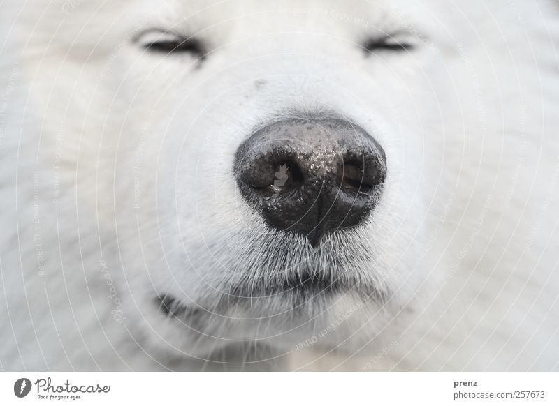 snuff Animal Pet Farm animal Dog Pelt 1 Looking White Sled dog Nose Close-up Head Detail Colour photo Deserted Shallow depth of field Animal portrait