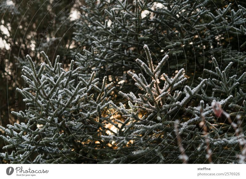Christmas tree Nature Plant Tree Cold Cuddly Christmas & Advent Fir tree Back-light Winter Hoar frost Colour photo Exterior shot Dawn Sunlight