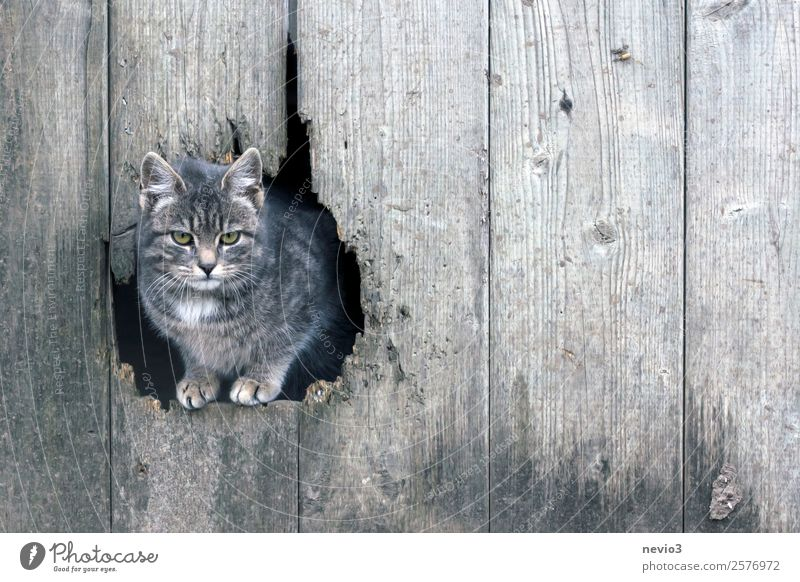Tiger cat looks through a barn gate Animal Pet Farm animal Cat Animal face Paw 1 Baby animal Gray Boredom Bad mood Kitten Soft Small Barn Barn door Wood