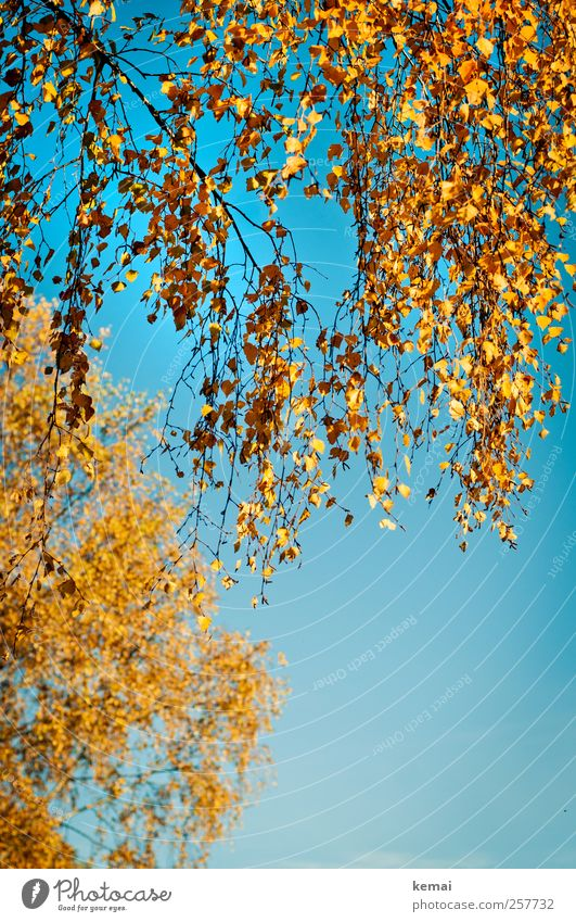 birch leaves Environment Nature Plant Cloudless sky Sunlight Autumn Beautiful weather Tree Leaf Birch tree Birch leaves Twig Branch Hang Illuminate Growth Blue