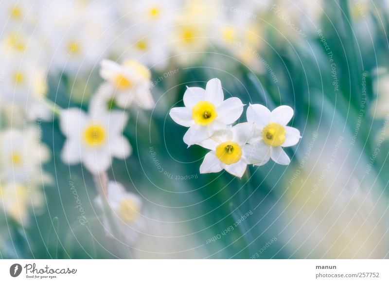 Nature Beautiful Flower Spring Blossom Natural Authentic Narcissus Wild daffodil Feasts & Celebrations