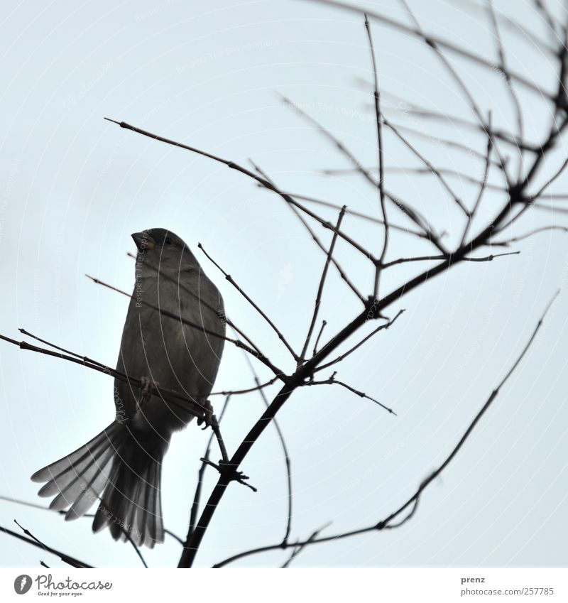zestfully Environment Nature Animal Bushes Wild animal Bird 1 Sit Blue Gray Sparrow Feather Twig Colour photo Exterior shot Copy Space top Morning