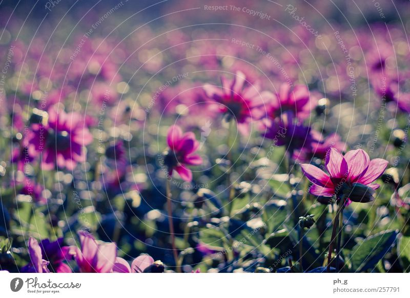 Bokeh Fields Nature Plant Summer Beautiful weather Flower Blossom Dahlia Park Esthetic Happy Bright Kitsch Natural Positive Multicoloured Green Pink Moody