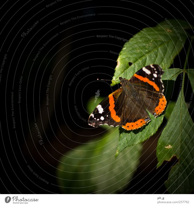 Spotlight on the little ones Plant Animal Summer Beautiful weather Bushes Foliage plant Park Wild animal Butterfly Red admiral 1 Esthetic Simple Elegant
