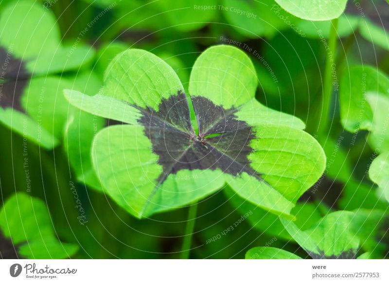 Close-up of a four-leaf lucky clover leaf Nature Leaf Foliage plant Healthy Happy blossoms congratulation Lucky Symbol Plant fibers profit St patricks day