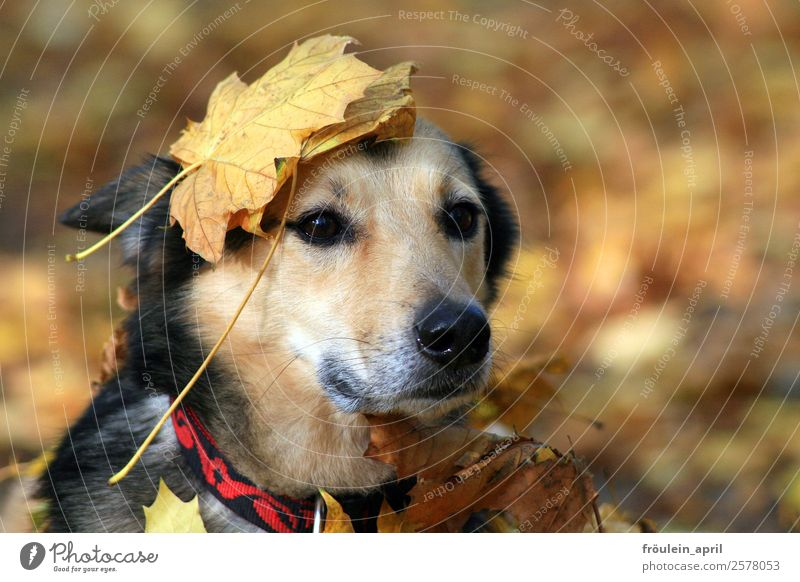 maple crown Nature Animal Autumn Leaf Park Forest Dog Animal face Pelt 1 Wait Natural Cute Soft Brown Yellow Contentment Loyal Love of animals Loyalty Peaceful