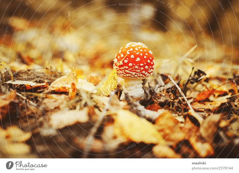 fly agaric mushroom with autumn forest background Beautiful Nature Plant Autumn Grass Park Forest Growth Natural Wild Red Dangerous fungus Gill fungi amanita
