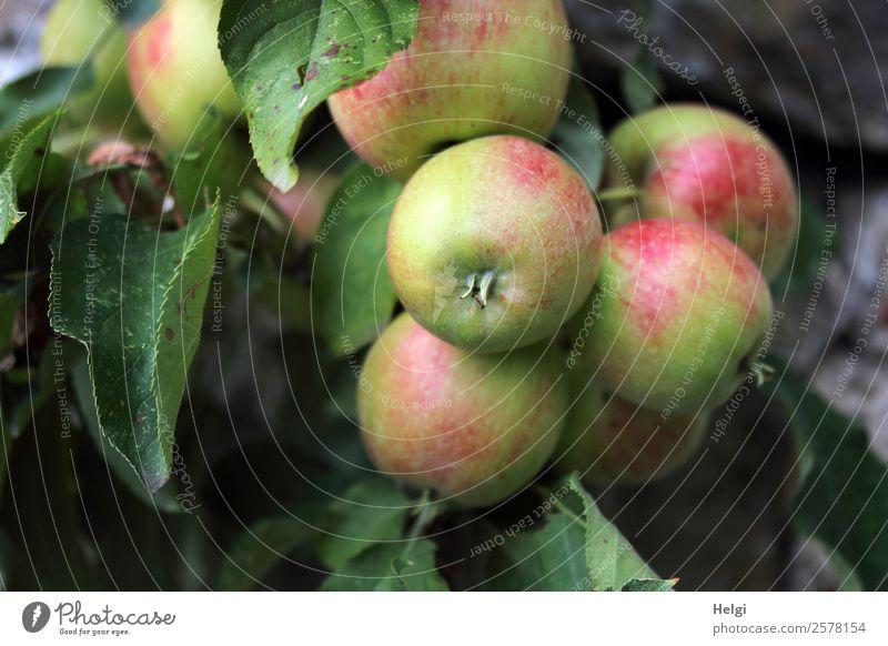 organic apples Food Fruit Apple Nutrition Organic produce Vegetarian diet Diet Environment Nature Plant Autumn Tree Leaf Agricultural crop Apple tree Garden