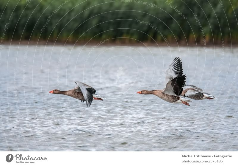 Flying wild geese over the lake Nature Animal Water Sunlight Beautiful weather Plant Common Reed Lake Wild animal Bird Animal face Wing Wild goose Goose Feather