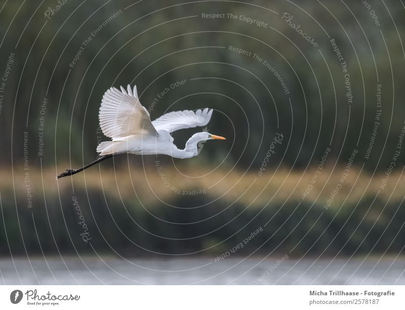 Flying Great White Egret Nature Animal Water Sun Sunlight Beautiful weather Plant Tree Bushes Lakeside Wild animal Bird Animal face Wing Claw Great egret