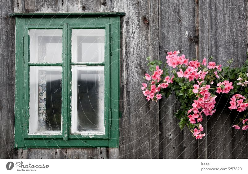Old Green Plant Flower House (Residential Structure) Window Wood Blossom Brown Contentment Pink Glass Facade Natural Authentic Decoration