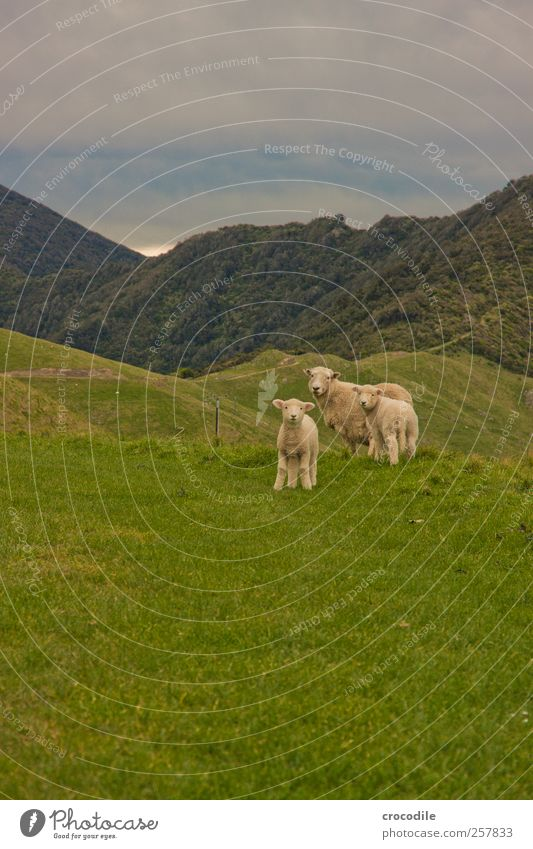 Nature Animal Environment Landscape Mountain Grass Weather Contentment Baby animal Together Observe Alps Sheep Virgin forest Safety (feeling of) Herd