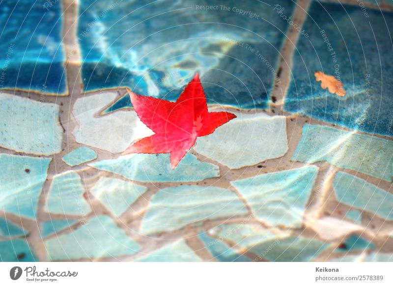 Red sweetgum leaf in blue pool. Environment Nature Autumn Weather Park Waves Pond Town Water Wet Blue Turquoise Romance Caution Serene Calm Swimming pool Leaf