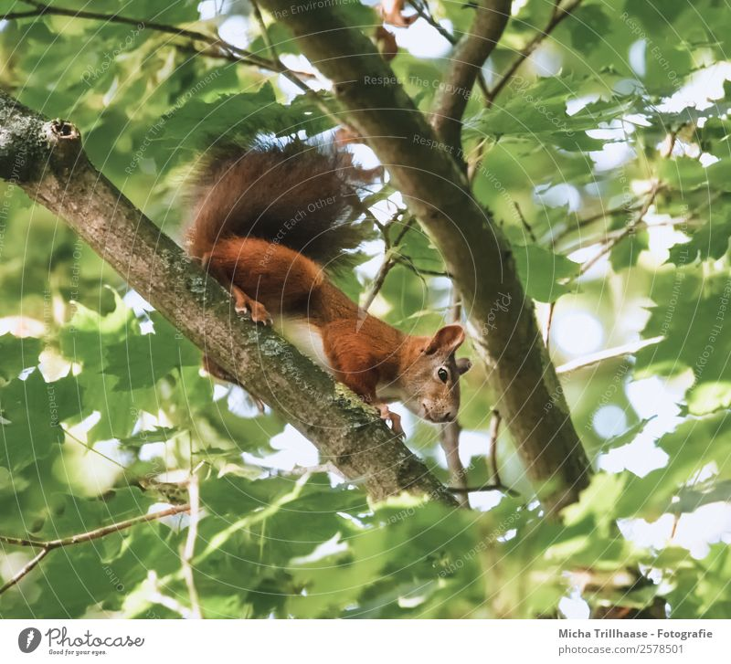 Curious squirrel in a tree Nature Animal Sunlight Beautiful weather Tree Leaf Forest Wild animal Animal face Pelt Claw Paw Squirrel Rodent Tails 1 Observe