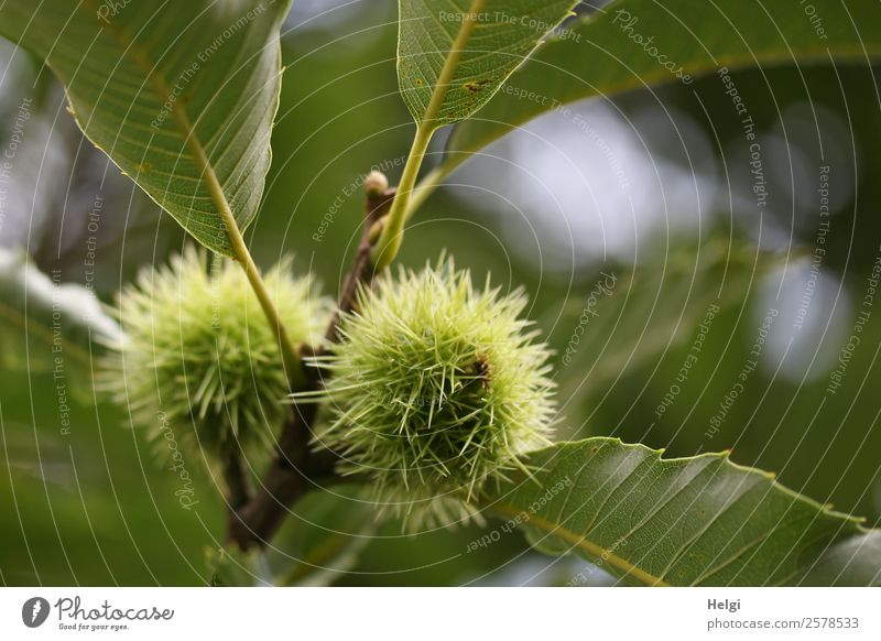 chestnuts Fruit Sweet chestnut Vegetarian diet Environment Nature Plant Autumn Tree Leaf Agricultural crop Twig Park Growth Esthetic Natural Round Thorny Gray
