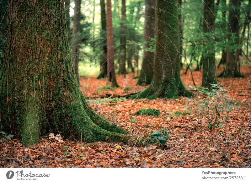 Trees with moss and fallen autumn leaves Environment Nature Autumn Moss Leaf Forest Green Orange Germany September Autumnal colorful deciduous ecosystem Europe
