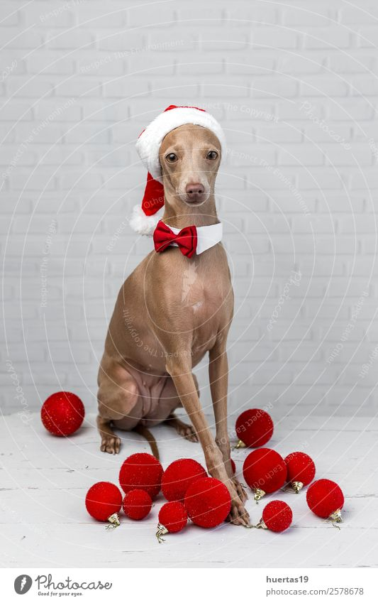 Dog with a Santa Claus hat Happy Beautiful Christmas & Advent New Year's Eve Friendship Animal Hat Pet 1 Friendliness Happiness Funny Brown Love of animals