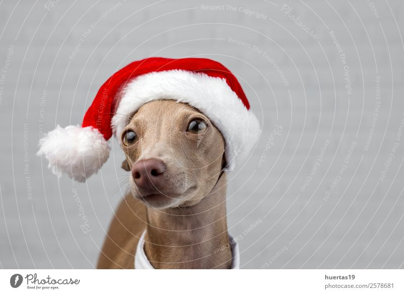 Dog with a Santa Claus hat Happy Beautiful Party Feasts & Celebrations Christmas & Advent New Year's Eve Friendship Animal Hat Pet Elegant Friendliness