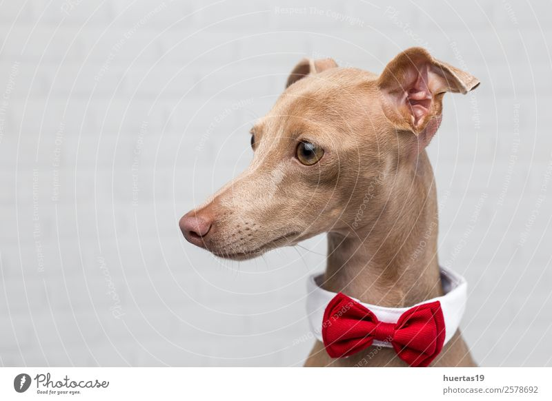 Studio portrait of little italian greyhound dog. Happy Beautiful Friendship Nature Animal Pet Dog 1 Friendliness Happiness Funny Brown Love of animals Greyhound