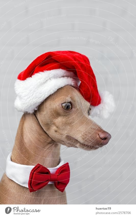 Dog with a Santa Claus hat. Happy Beautiful Feasts & Celebrations Christmas & Advent New Year's Eve Friendship Animal Hat Pet Friendliness Happiness Funny Brown