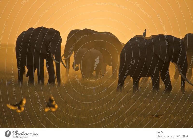Elephants of the Masai Mara Nature Animal Sunlight Safari Wild animal Bird Elephant herd Group of animals Herd Hunting Vacation & Travel Exotic Brown Gold Moody