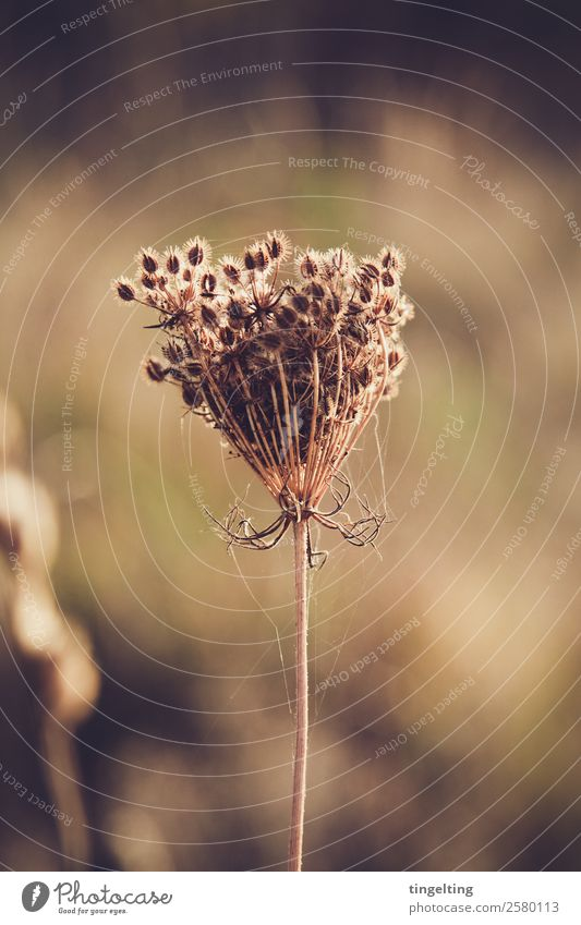 weeds don't go away Environment Nature Plant Drought Wild plant Meadow Field Near Dry Brown Green Weed Spider's web Sphere Seed Shriveled Faded Thorny