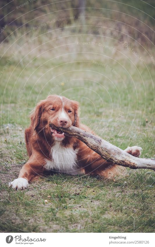 chew Nature Meadow Animal Pet Dog Animal face Pelt Claw Paw 1 Eating To feed Orange Red Green Chew Stick Branch Town Wood Dental care