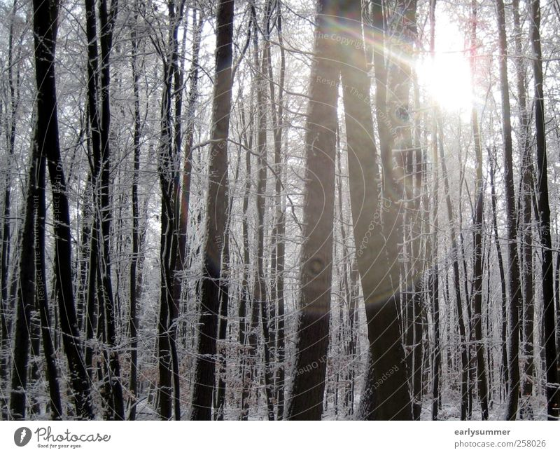 winter forest Winter Snow Winter vacation Ski run Environment Nature Landscape Animal Sun Sunlight Beautiful weather Plant Tree Forest Wood Freeze Cold Warmth