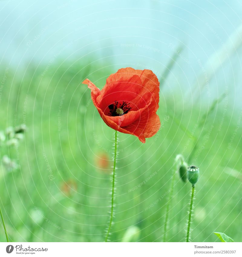Nature Plant Blue Green Water Red Environment Emotions Growth Joie de vivre (Vitality) Blossoming Elements Poppy River bank Poppy blossom Poppy capsule