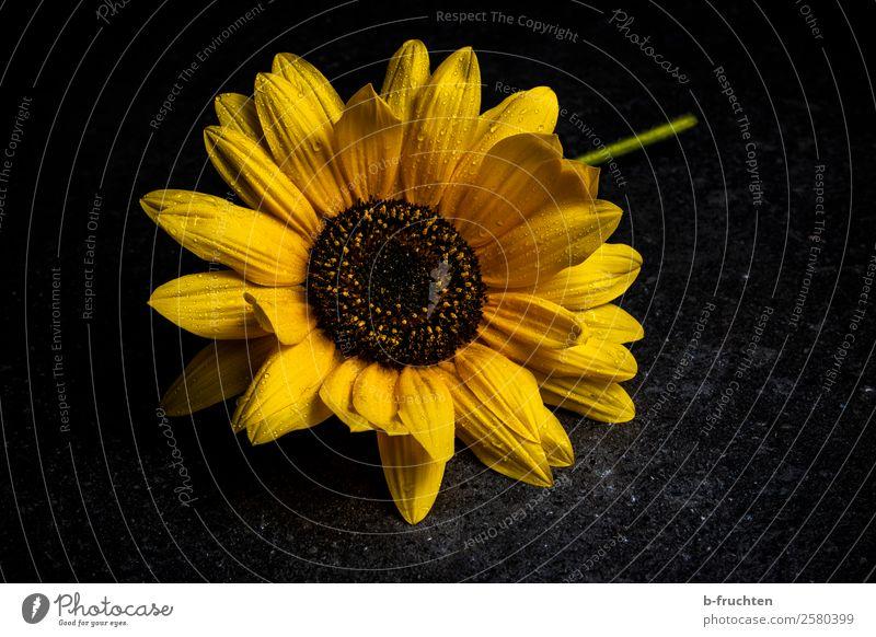 sunflower Feasts & Celebrations Funeral service Rain Plant Flower Blossom Stone Blossoming Illuminate Lie Faded Authentic Dark Fresh Wet Beautiful Yellow Black