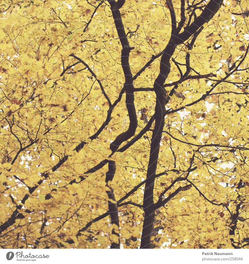 life line Elegant Style Far-off places Environment Nature Autumn Climate change Tree Leaf Forest Old Breathe Blossoming Fragrance Illuminate Faded To dry up