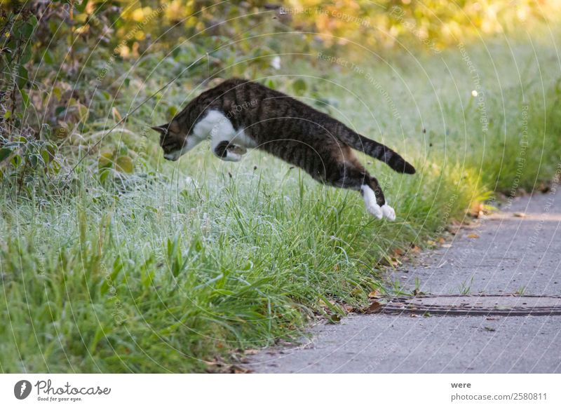 Cat on Mouse Hunt leaps in maturing covered grass Nature Animal Pet 1 Catch Flying To feed Hunting Jump Soft cat's hair copy space cuddly cuddly soft dead fly